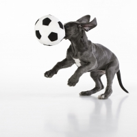 "<p><a href=""https://www.kurtpas.com/1st-gallery"" target=""_blank"">Great dane puppy - playing in our studio</a></p>"